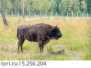 Купить «Зубр европейский, Беловежская пуща, Белоруссия», эксклюзивное фото № 5256204, снято 28 сентября 2013 г. (c) Константин Косов / Фотобанк Лори