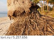 Кокосовая пальма. Стоковое фото, фотограф Лукманов Виталий / Фотобанк Лори