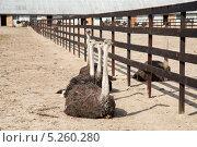 Страусы на страусиной ферме сидят в ряд. Стоковое фото, фотограф Петров Игорь Алексеевич / Фотобанк Лори