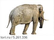 Купить «Индийский слон», фото № 5261336, снято 29 октября 2013 г. (c) Parmenov Pavel / Фотобанк Лори