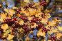 Ягоды боярышника осенью, эксклюзивное фото № 5263464, снято 15 октября 2013 г. (c) Алексей Гусев / Фотобанк Лори