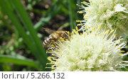 Пчела за работой. Стоковое фото, фотограф Евгений Суровцев / Фотобанк Лори