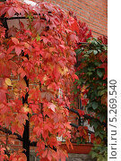 Фонарь в зарослях виноградных листьев. Стоковое фото, фотограф Инна Горохова / Фотобанк Лори