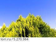 Купить «Можжевельник на фоне синего неба», фото № 5270984, снято 3 июля 2013 г. (c) Евгений Ткачёв / Фотобанк Лори