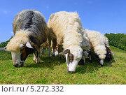 Купить «Овцы в летнем пейзаже», фото № 5272332, снято 30 июля 2013 г. (c) Швадчак Василий / Фотобанк Лори
