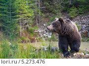 Купить «Бурый медведь на берегу водоема», фото № 5273476, снято 27 октября 2013 г. (c) Эдуард Кислинский / Фотобанк Лори