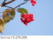 Купить «Ягоды калины (Viburnum)», эксклюзивное фото № 5274208, снято 6 октября 2013 г. (c) Алёшина Оксана / Фотобанк Лори