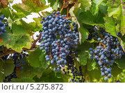 Купить «Грозди созревшего темно-синего винограда», фото № 5275872, снято 26 сентября 2013 г. (c) Сергей Рыбин / Фотобанк Лори