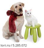 Купить «Белая ангорская кошка и собака породы Лабрадор ретривер», фото № 5285072, снято 15 января 2012 г. (c) Наталья Аксёнова / Фотобанк Лори