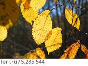 Купить «Листья Вяза или Ильма (Ulmus)», фото № 5285544, снято 13 октября 2013 г. (c) Алёшина Оксана / Фотобанк Лори