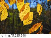 Купить «Листья Вяза (Ulmus) на закате», фото № 5285548, снято 13 октября 2013 г. (c) Алёшина Оксана / Фотобанк Лори