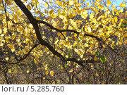 Купить «Ветка Вяза (Ulmus) с желтой листвой», эксклюзивное фото № 5285760, снято 13 октября 2013 г. (c) Алёшина Оксана / Фотобанк Лори