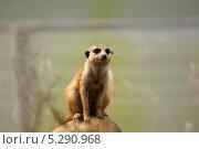 Сурикат. Стоковое фото, фотограф Рогов Алексей / Фотобанк Лори