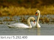Купить «Лебедь шипун осенью на водоёме», фото № 5292400, снято 14 апреля 2012 г. (c) Эдуард Кислинский / Фотобанк Лори