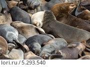 Купить «Лежбище капских морских котиков на атлантическом побережье Африки», фото № 5293540, снято 21 июня 2013 г. (c) Николай Винокуров / Фотобанк Лори
