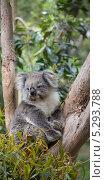 Портрет коалы на дереве, фото № 5293788, снято 30 октября 2013 г. (c) Сергей Левыкин / Фотобанк Лори