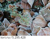 Замерзающая, еще зеленая веточка полевой травы. Стоковое фото, фотограф Алексей Шуляков / Фотобанк Лори