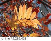 Лист красной рябины. Стоковое фото, фотограф Алексей Шуляков / Фотобанк Лори