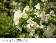 Яблони цветут... Стоковое фото, фотограф Елена Мумрина / Фотобанк Лори