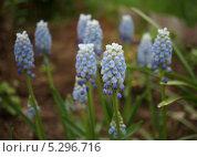 Весна. Мышиный гиацинт. Стоковое фото, фотограф Елена Мумрина / Фотобанк Лори