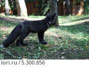 Купить «Чернобурая лиса», фото № 5300856, снято 19 августа 2011 г. (c) Юля Волкова / Фотобанк Лори