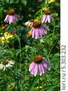 Купить «Эхинацея пурпурная (Echinacea purpurea)», эксклюзивное фото № 5303232, снято 16 июля 2013 г. (c) Елена Коромыслова / Фотобанк Лори