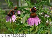 Купить «Эхинацея пурпурная (Echinacea purpurea)», эксклюзивное фото № 5303236, снято 24 июля 2013 г. (c) Елена Коромыслова / Фотобанк Лори