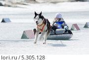 Купить «Собачьи бега на байкальской рыбалке 2012», фото № 5305128, снято 14 апреля 2012 г. (c) Александр Подшивалов / Фотобанк Лори