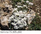 Горный цветок. Стоковое фото, фотограф Ирина Жосан / Фотобанк Лори