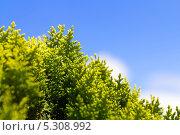 Купить «Можжевельник на фоне синего неба», фото № 5308992, снято 3 июля 2013 г. (c) Евгений Ткачёв / Фотобанк Лори