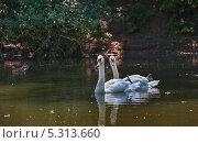 Пара лебедей. Стоковое фото, фотограф Ермихина Оксана / Фотобанк Лори