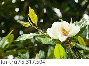 Купить «Цветок магнолии крупноцветковой. Magnolia Grandiflora», фото № 5317504, снято 24 июня 2013 г. (c) Яков Филимонов / Фотобанк Лори