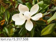 Купить «Цветок магнолии крупноцветковой. Magnolia Grandiflora», фото № 5317508, снято 24 июня 2013 г. (c) Яков Филимонов / Фотобанк Лори