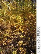 Купить «Густой кустарник. Пузыреплодник калинолистный (Physocarpus opulifolius)», эксклюзивное фото № 5318956, снято 13 октября 2013 г. (c) Щеголева Ольга / Фотобанк Лори