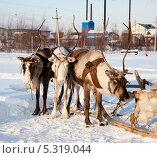 Купить «Тур на северных оленях», фото № 5319044, снято 25 февраля 2012 г. (c) Владимир Мельников / Фотобанк Лори