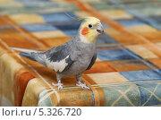 Серый, хохлатый попугай с жёлтой головой и оранжевым пятнышком. Стоковое фото, фотограф Dmitry29 / Фотобанк Лори