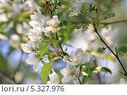 Цветы яблони.. Стоковое фото, фотограф Марина Туманина / Фотобанк Лори
