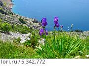 Купить «Дикие ирисы на склоне горы у моря», фото № 5342772, снято 26 апреля 2013 г. (c) Елена Галачьянц / Фотобанк Лори