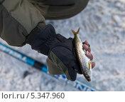 Купить «Байкал. Рыбак показывает пойманного на удочку омуля», эксклюзивное фото № 5347960, снято 7 декабря 2013 г. (c) Виктория Катьянова / Фотобанк Лори