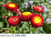 Купить «Красные сухоцветы», фото № 5348640, снято 19 сентября 2013 г. (c) Наталья Волкова / Фотобанк Лори