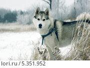 Купить «Сибирский хаски», фото № 5351952, снято 15 июля 2013 г. (c) макаров виктор / Фотобанк Лори