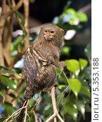 Карликовая мармозетка (Callithrix pygmaea) Стоковое фото, фотограф Александр Виноградов / Фотобанк Лори