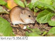 Купить «Мышь полевая», фото № 5356672, снято 25 августа 2010 г. (c) Василий Вишневский / Фотобанк Лори