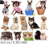 Купить «Коллекция изображений маленьких собак на белом фоне», фото № 5361068, снято 23 июля 2019 г. (c) Наталья Аксёнова / Фотобанк Лори