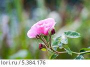 Бутон розовой розы в саду. Стоковое фото, фотограф Татьяна Кахилл / Фотобанк Лори