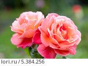 Купить «Две чайные розы  сорт Troika», фото № 5384256, снято 19 сентября 2012 г. (c) Татьяна Кахилл / Фотобанк Лори