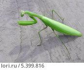 Зеленый богомол на сером фоне. Стоковое фото, фотограф Людмила Сергиенко / Фотобанк Лори