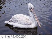 Белый пеликан. Стоковое фото, фотограф Бочкарева Лариса / Фотобанк Лори