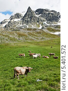 Купить «Коричневые коровы пасутся на фоне гор», фото № 5401572, снято 4 июля 2013 г. (c) Дмитрий Калиновский / Фотобанк Лори