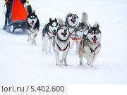 Купить «Ездовые собаки», фото № 5402600, снято 20 января 2013 г. (c) yeti / Фотобанк Лори